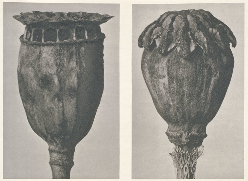 two separate images of seed pods (?); a rounded on the bottom with a flat top; row of square openings under top; b rounded body with leafy cap. From Urformen der Kunst book