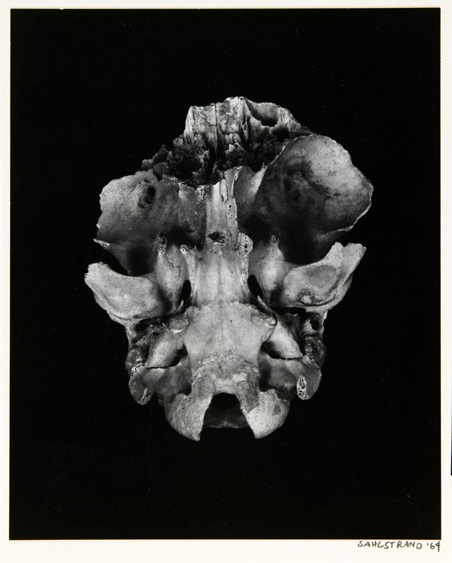 view of underside of an animal's skull against a black background; mounted on stiff paper