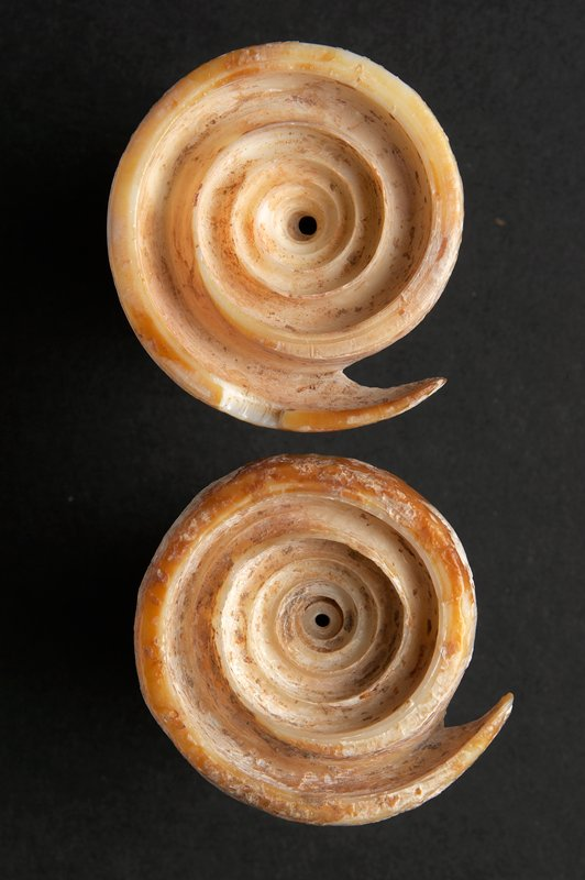 2 spiral-shaped sections of shells; holes at center; off-white with light brown areas