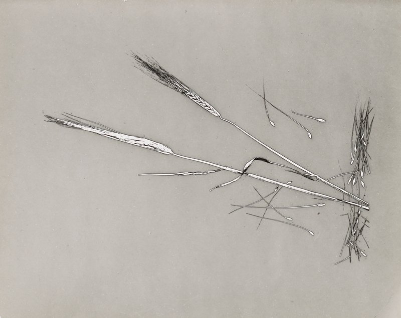 drawing-like reverse image of two wheat stems and wheat stems/germs; grey ground