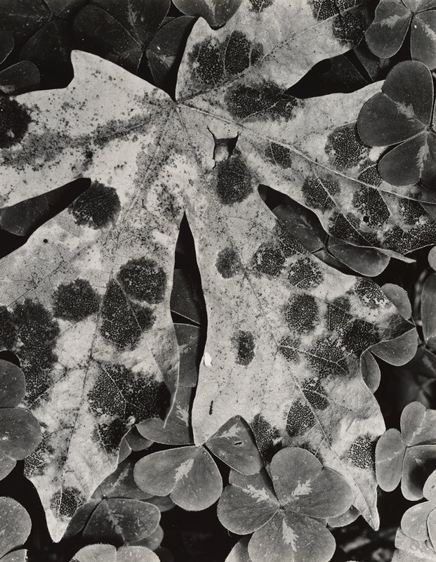 clovers around edges of image; maple leaf at center with black spotted areas