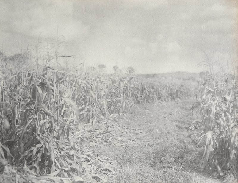 empty row in cornfield between corn rows