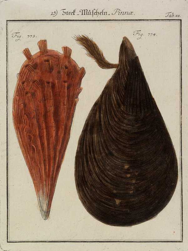 "brown mussel at right, rust-reddish mussel at left, numbered ""Fig. 773"" and ""Fig. 774"""