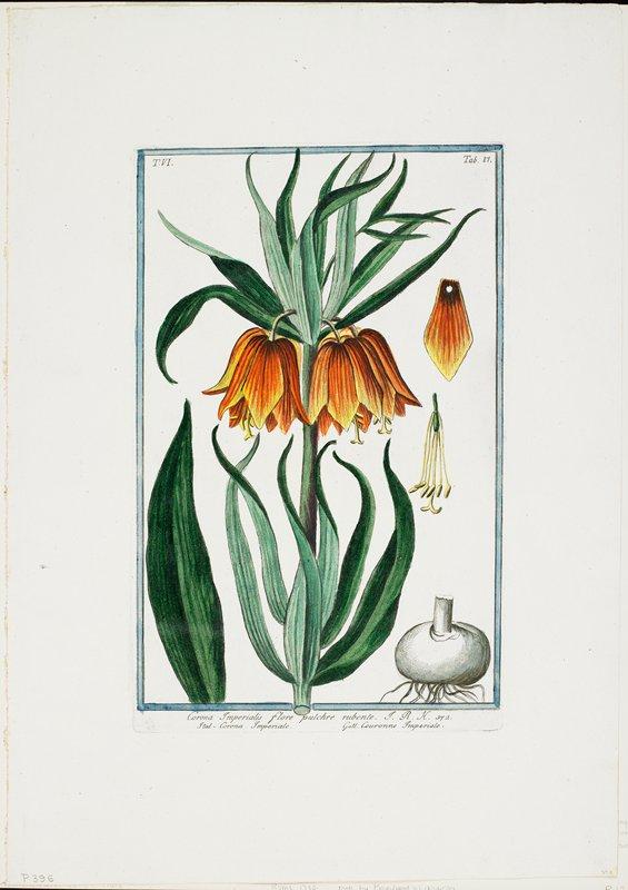 T.VI. Tab.81. Corona Imperialis flore pulchre rubente. J.R.H 342.