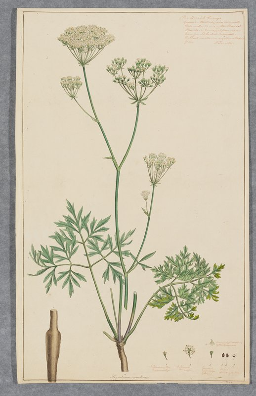 Plate 11, one of 18 hand-colored engravings of flowering plants by Sowerby