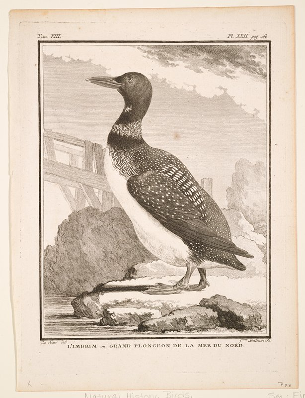 tom. VIII. pl. XXII. pag. 260; black and white; birds (loon)