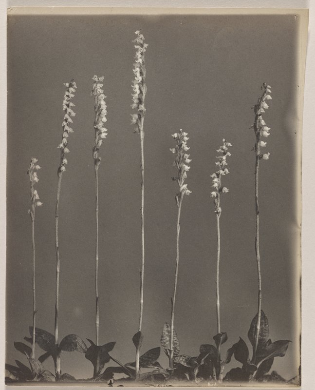 seven tall, thin stems, each with multiple light-colored blossoms; thick-veined leaves at bottom; grey ground
