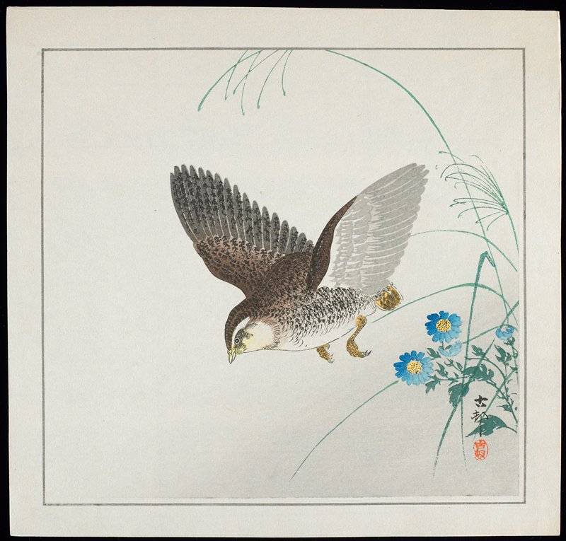 A Japanese quail takes to flight. Sprigs of a crysanthemum-like flower appear to the right. The quail is a gallinaceous bird, identifiable by its rounded body, short bill and small tail. In Japan, it is kept as a domestic bird, and its eggs are highly prized. (Newland 2010)